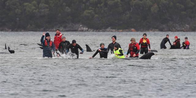 Negentig gestrande walvissen voor Australische kust gered
