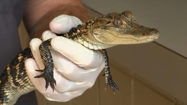 Dierenbescherming redt slangen en alligators uit huis in VS