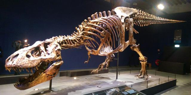 Tyrannosaurus rex Trix na twee jaar terug in Naturalis in Leiden