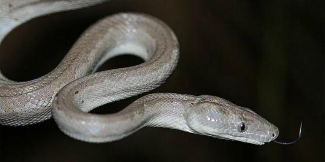 Nieuwe slangensoort ontdekt op afgelegen eiland Bahama's