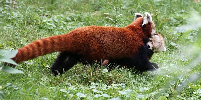 Pasgeboren rode panda zet eerste stappen in buitenverblijf ARTIS