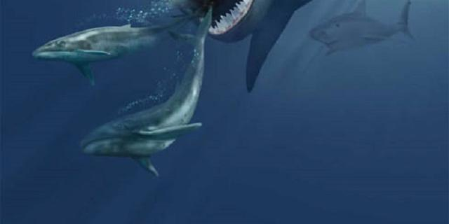 Hoe de prehistorische oerhaai megalodon zo gigantisch kon worden