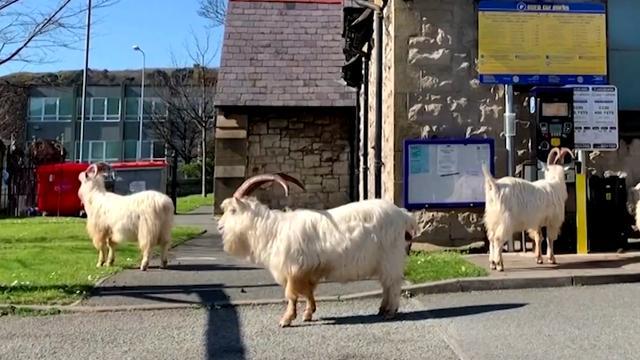 Geiten struinen door stadje in Wales tijdens lockdown