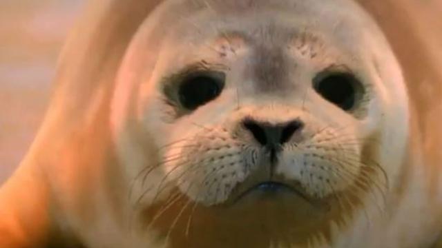 Jonge zeehondjes gered in België