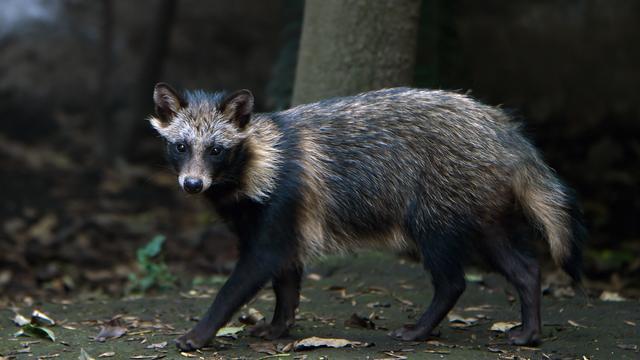Wasbeerhond gefotografeerd bij Hijkerveld in Drenthe