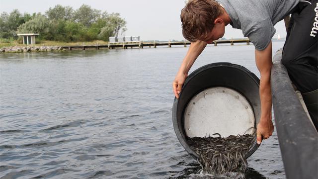 490.000 jonge palingen uitgezet in Grevelingenmeer