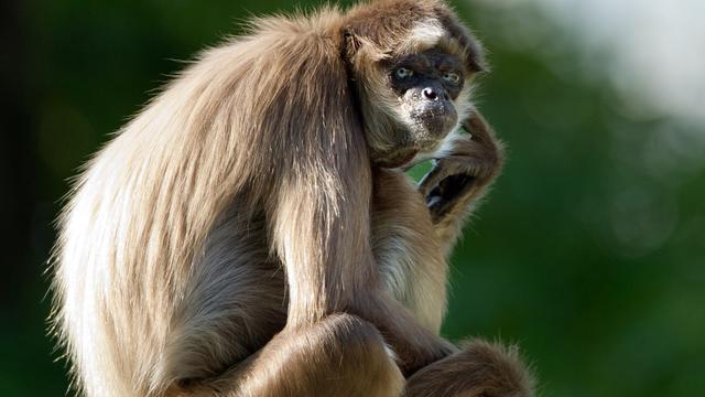 Experts luiden noodklok over verweesde aap Dierenpark Wassenaar