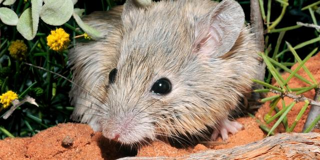 Goed nieuws: 'Uitgestorven' muis bestaat nog | 82-jarige mag ruimte in