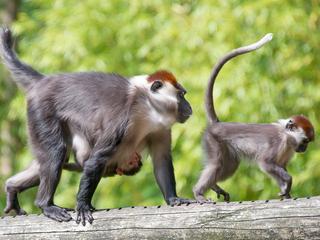 Geslacht van pasgeboren aapje nog onbekend