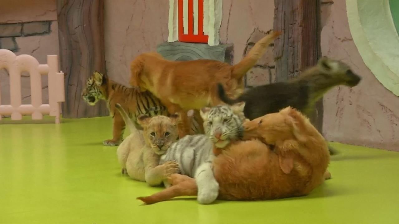 Puppy's spelen met tijgers, hyena's en leeuw in China