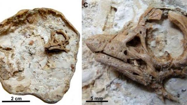 Zeldzame vondst: dinosaurusembryo intact in miljoenen jaren oud ei