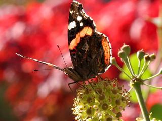 'Kennelijk goed jaar met gunstige omstandigheden voor trekvlinder uit Zuid-Europa'