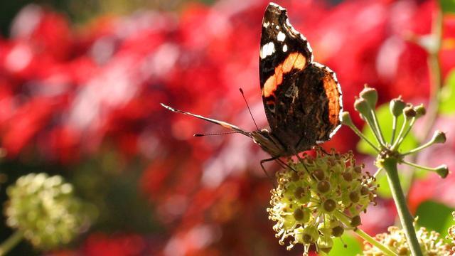 Atalanta staat bovenaan na eerste dag vlindertelling