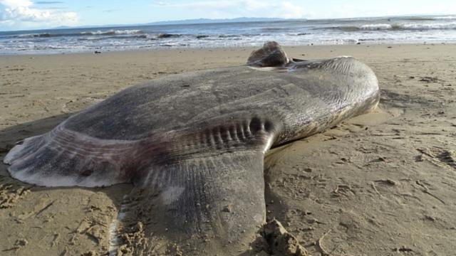 Zeldzame maanvis spoelt voor het eerst aan op de kust van Californië