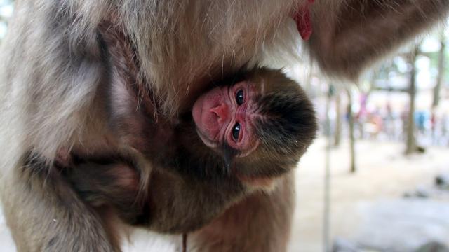 Japanse aap mag toch Charlotte heten