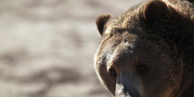 Grizzlyberen in Yellowstone niet langer op lijst met bedreigde dieren