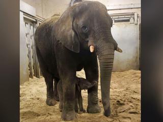 Afrikaanse olifanten staan volgens dierentuin bekend om onvoorspelbaarheid