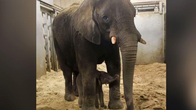 Pasgeboren olifantje Ouwehands Dierenpark dood na aanval eigen moeder