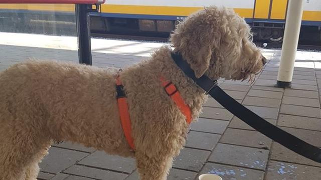Haagse vermiste hond teruggevonden in trein naar Leiden
