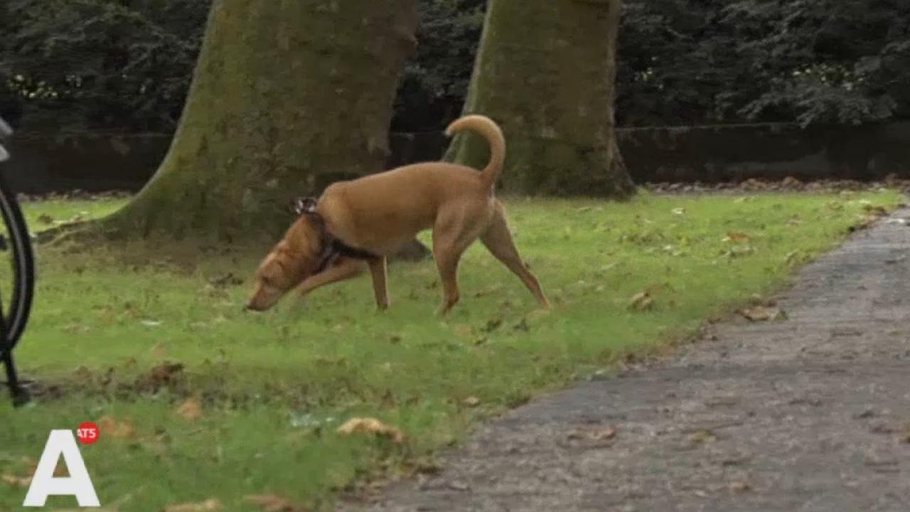 Loslopende hond zet tanden in kuit hardloper