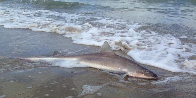 Dode haai aangespoeld op strand Schouwen-Duiveland