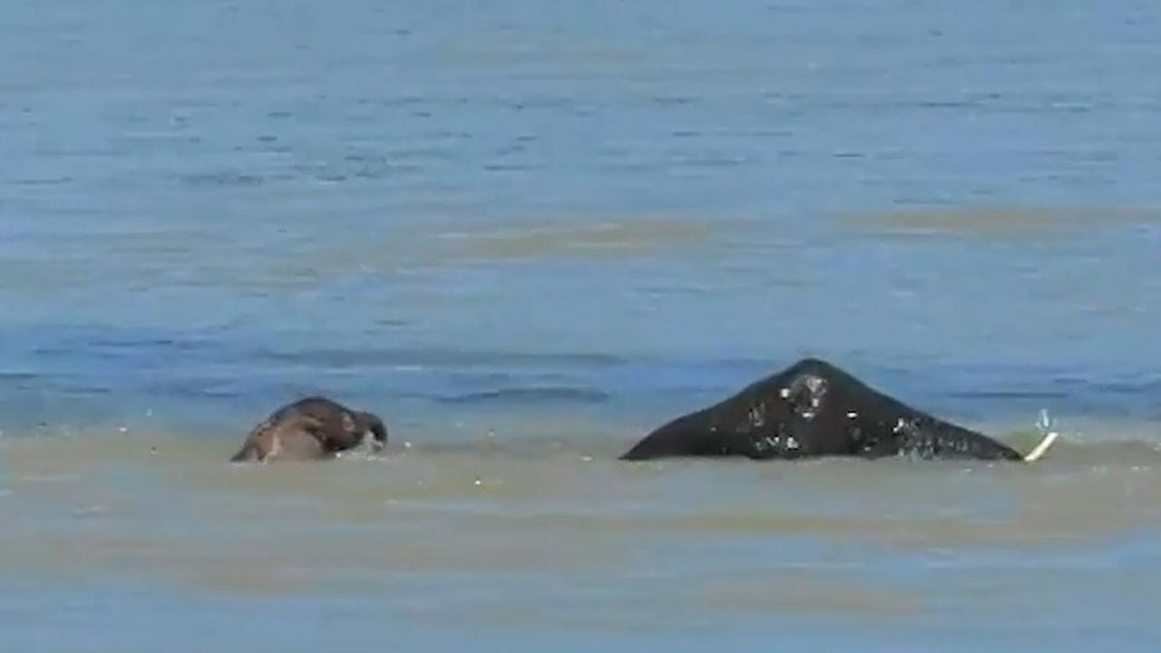 Olifanten redden kalf van verdrinkingsdood in Krugerpark