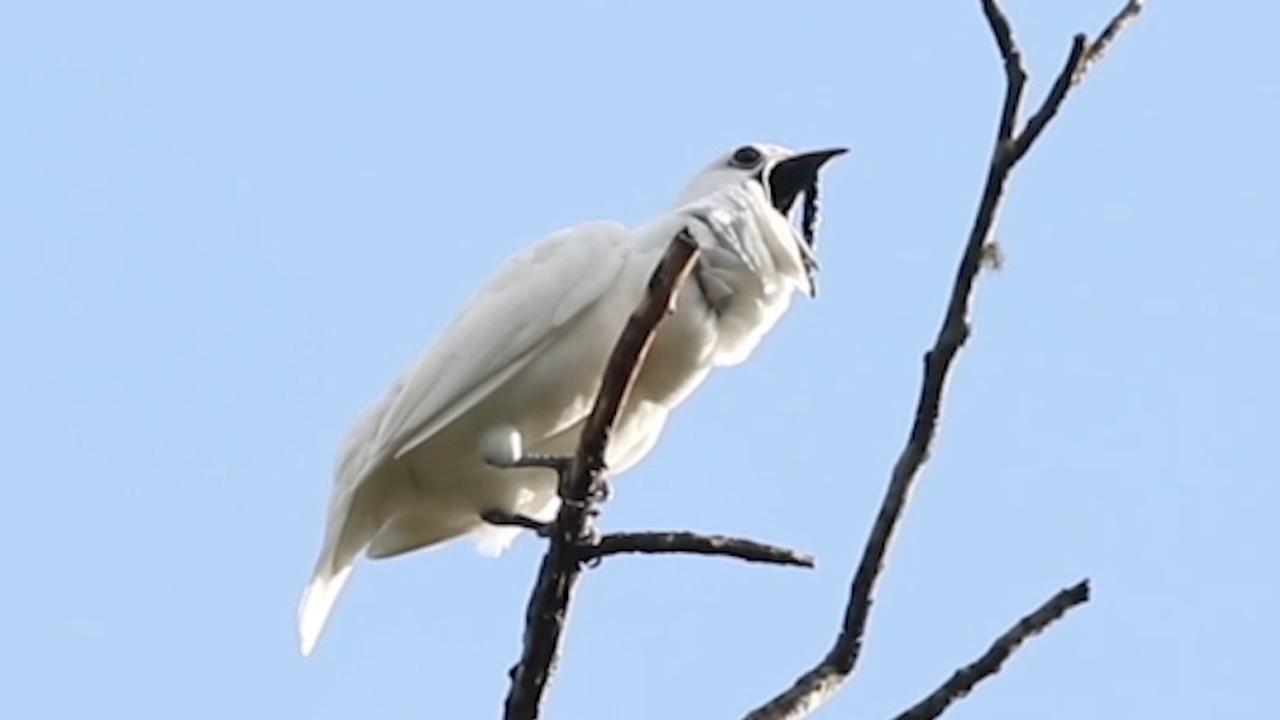 Beluister hier de roep van de witte klokvogel