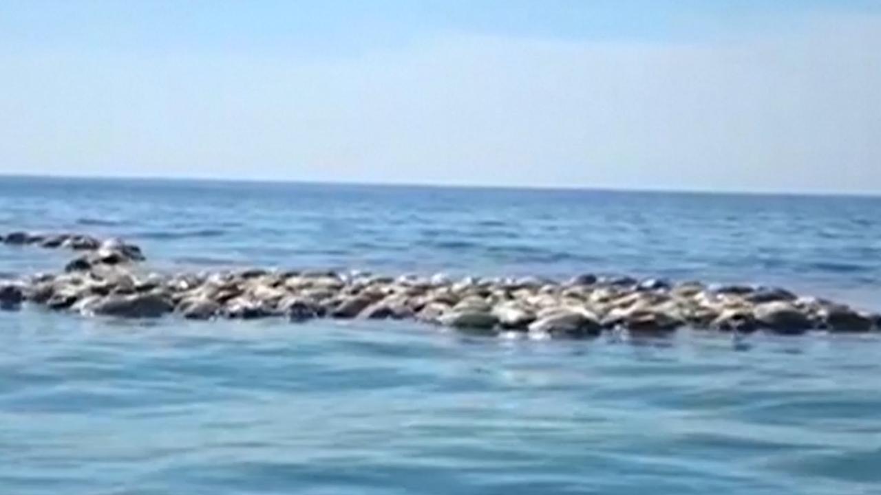 Vissers Mexico vinden honderden dode zeldzame schildpadden