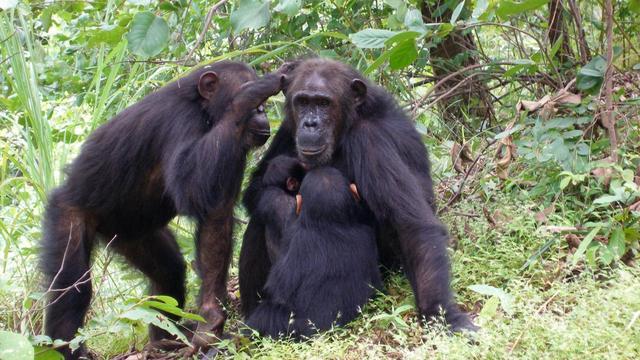 Vrouwelijke chimpansees met machtige moeders blijven liever thuiswonen