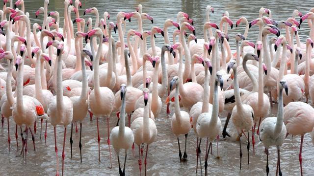 GaiaZOO heeft van alle Europese dierentuinen grootste groep flamingo's