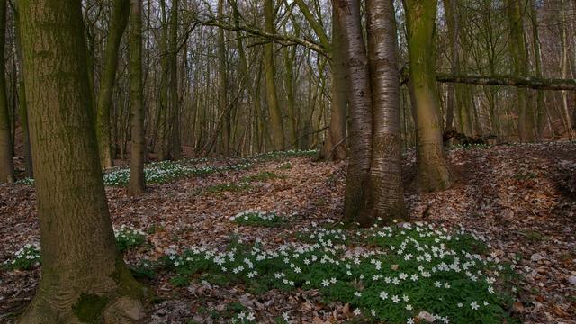Gevarieerd loofbos op de Veluwe, met naast eik en beuk ook essen en boskers, en op de voorgrond bosanemoon. Ook die voorjaarsbloem komt door verzuring door stikstof steeds minder voor.