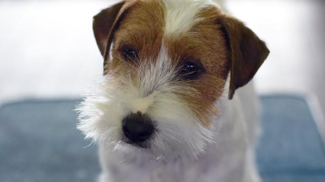 'Britse hond reageert alleen op bevelen van personen met Frans accent'