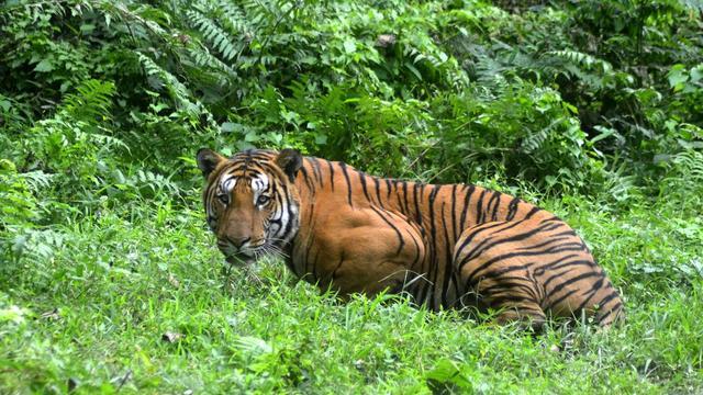 Aantal wilde tijgers neemt toe