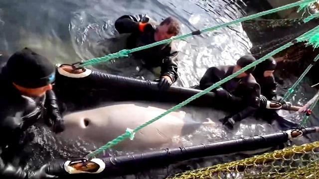 Rusland laat vijftig witte dolfijnen vrij