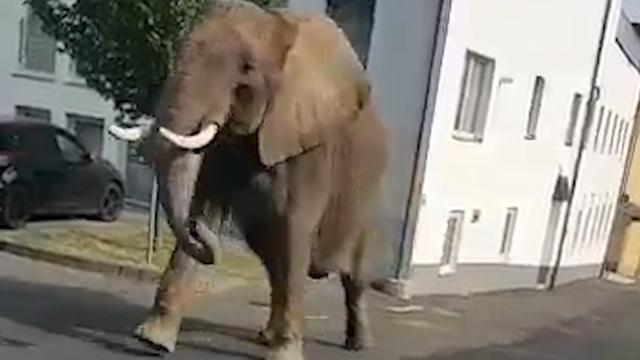 Uit circus ontsnapte olifant struint door straten Duitse stad Neuwied
