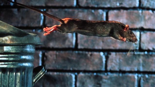 Team Nieuwe Wildernis maakt film over ratten