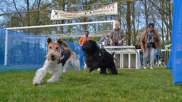 Stichting Werkende Terriër Halsteren houdt race op Koningsdag