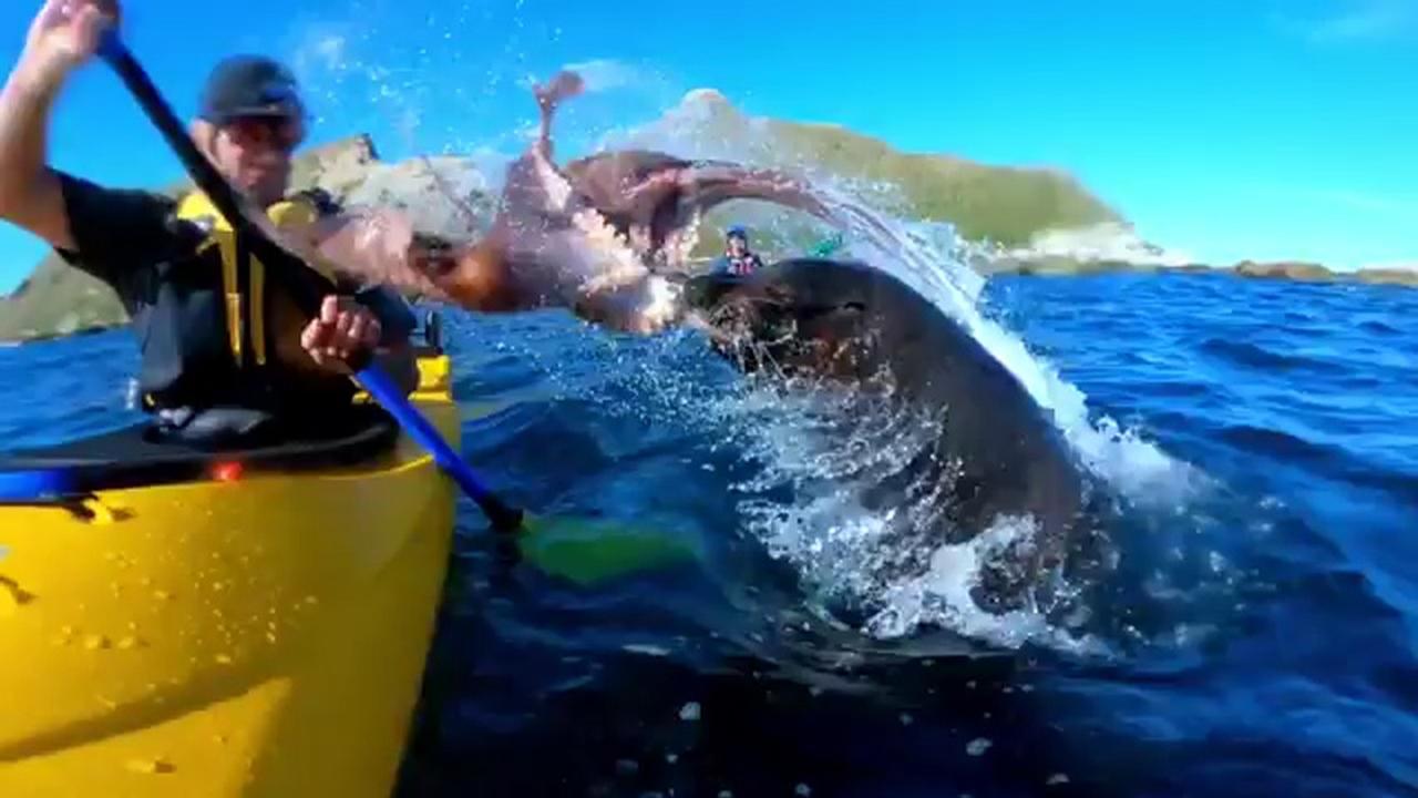 Zeeleeuw slaat kajakker in gezicht met octopus in Nieuw-Zeeland