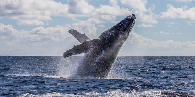 Zo helpen walvissen klimaatverandering tegen te gaan