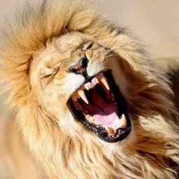 Goed nieuws: Vrouw bevalt van tien baby's   Leeuwen ARTIS kunnen blijven