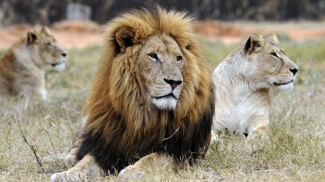 Groep stropers vermoedelijk opgegeten door leeuwen in Zuid-Afrika
