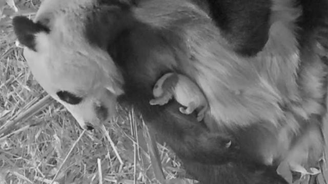 Nieuwe video van pandababy in Ouwehands Dierenpark