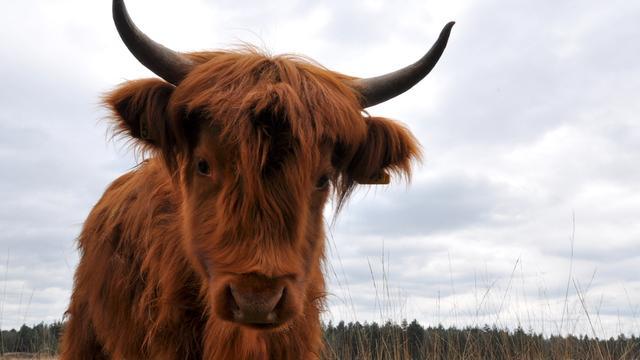 Schotse Hooglanders begrazen stuk Landerije