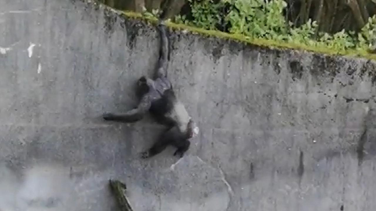 Apen gebruiken tak als 'ladder' bij ontsnapping dierentuin Belfast