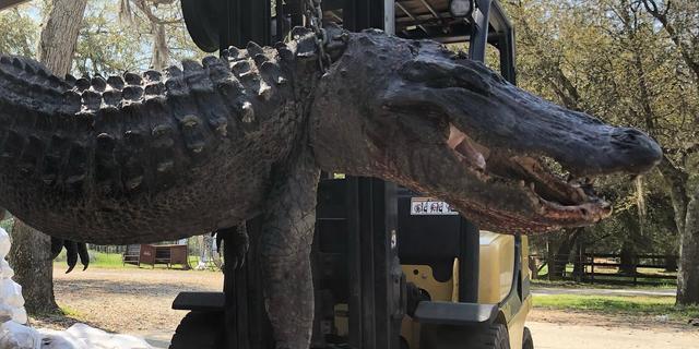 Hondenpenningen en schildpadschilden aangetroffen in alligatormaag VS