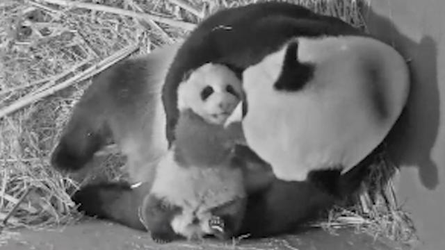Pandababy Ouwehands Dierenpark vernoemd naar Vincent van Gogh