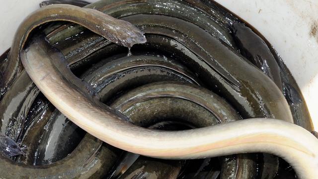 Japans stadje trekt reclame terug waarin meisje in paling verandert