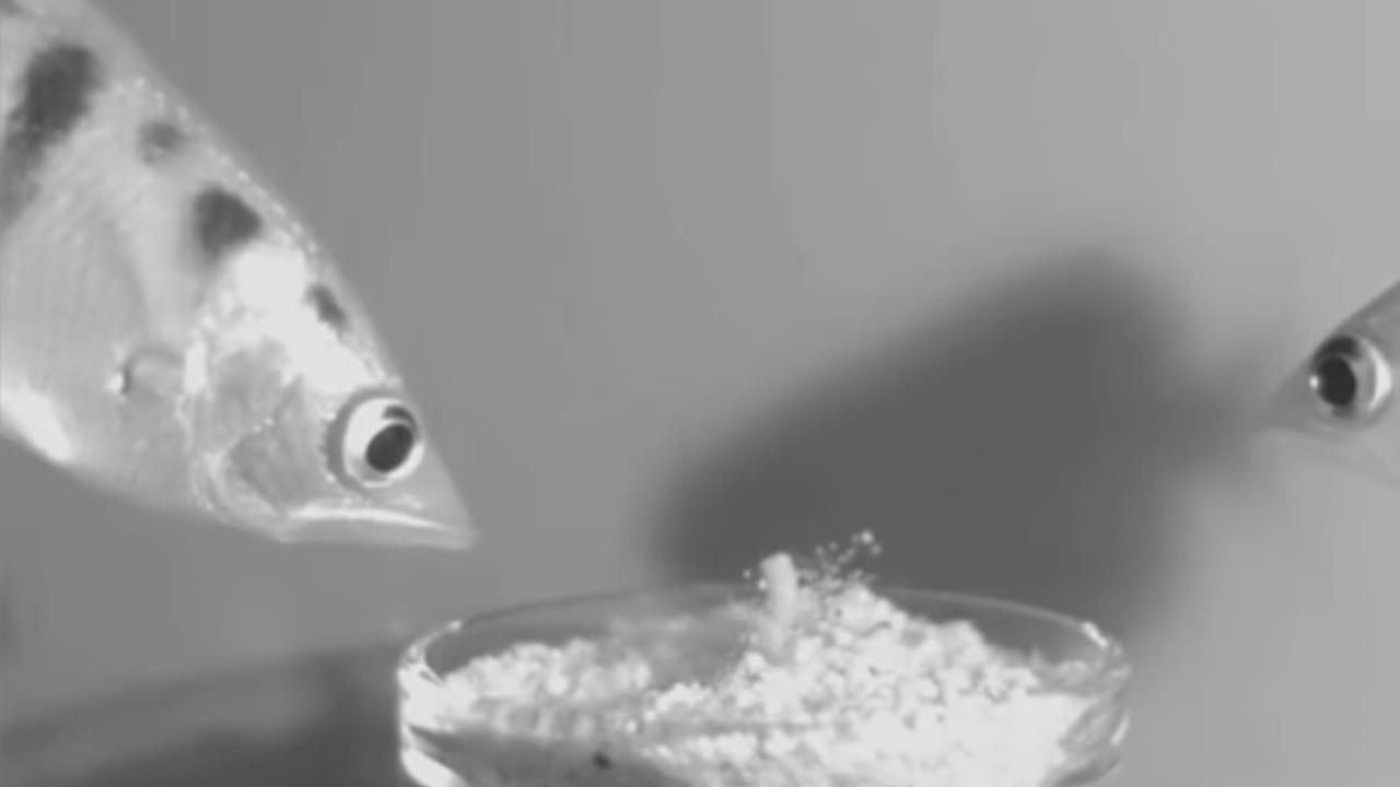 Schuttersvis spuugt ook onder water naar prooien