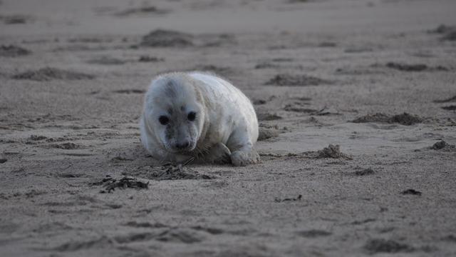 Het gaat goed met de grijze zeehond in de Waddenzee