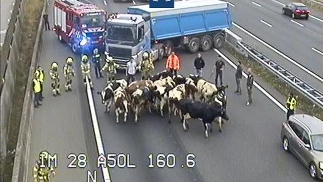 A50 tussen Arnhem en Oss korte tijd dicht na brand in veewagen met koeien
